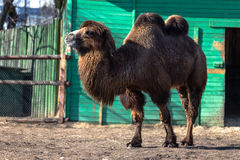 Brown camel in zoo. Standing on feet Stock Photography