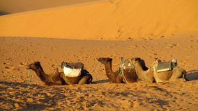 Brown camels in sand desert Royalty Free Stock Image