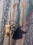 Brown camufló bien el escarabajo en la madera imagen de archivo