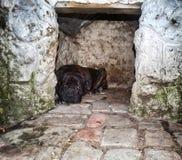 Brown Cane Corso Dog fotografia stock