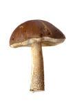 Brown cap boletus Royalty Free Stock Photo