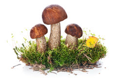 Brown cap boletus Stock Photos