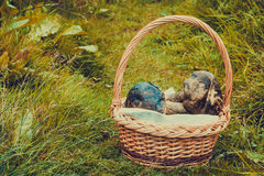 Brown Cap Boletus in a Basket Stock Photography