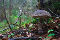 Brown cap boletus in the forest on a background of leaves, branches and grass Stock Photo