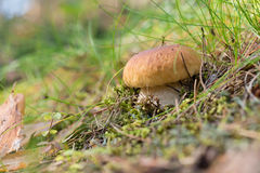 Brown cap boletus growing on forest Stock Photography