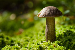 Brown cap boletus, mushroom Stock Photography