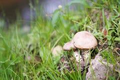 Brown cap boletus. Mushroom, atumn, fall. Nature Royalty Free Stock Photo