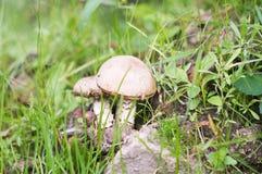 Brown cap boletus. Mushroom, atumn, fall. Nature Stock Images