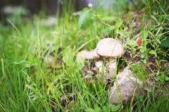 Brown cap boletus. Mushroom, atumn, fall. Nature Royalty Free Stock Photos