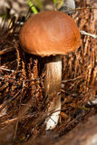 Brown cap boletus Stock Images