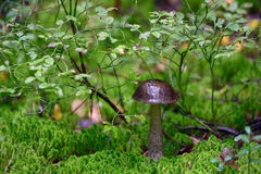 Brown cap boletus Royalty Free Stock Photo