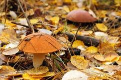 Brown cap mushroom Stock Image