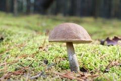 Brown-cap mushroom in moss Royalty Free Stock Image