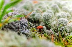 Brown cap mushroom on moss in the summer Royalty Free Stock Images