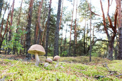 Brown-cap mushrooms in forest Royalty Free Stock Images