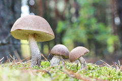 Brown-cap mushrooms in moss forest Stock Images