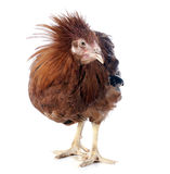 Brown capon Royalty Free Stock Photography
