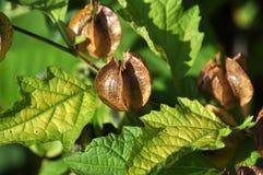 brown capsules nicandraen som physalodes kärnar ur Fotografering för Bildbyråer