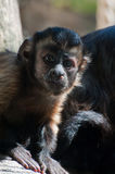 Brown Capuchin Stock Images