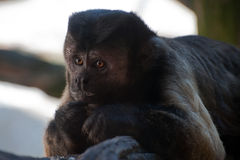 Brown Capuchin. Is lying on stomach royalty free stock photos