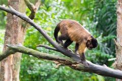 Brown-Capuchin beim Suchen nach Lebensmittel Lizenzfreie Stockfotos