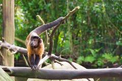 Brown-Capuchin beim Suchen nach Lebensmittel Stockbilder