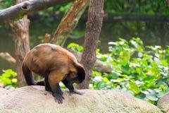 Brown-Capuchin beim Suchen nach Lebensmittel Lizenzfreies Stockfoto