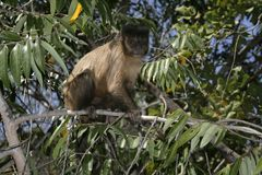 Brown capuchin or black-striped capuchin or bearded capuchin, Cebus libidinosus Royalty Free Stock Image