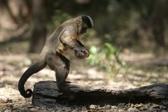 Brown capuchin or black-striped capuchin or bearded capuchin, Cebus libidinosus. Breaking open nut with stone, Hyacinth Valley, Brazil stock photo