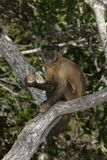 Brown capuchin or black-striped capuchin or bearded capuchin, Cebus libidinosus Stock Image
