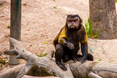 Brown capuchin on a branch royalty free stock photography