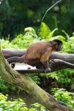 Brown-Capuchin, der ein Heck hat Lizenzfreies Stockfoto