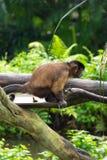 Brown-Capuchin, der ein Heck hat Lizenzfreie Stockfotos
