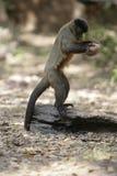Brown capuchin lub paskujący capuchin capuchin lub brodatego, Cebus libidinosus Zdjęcia Stock