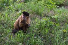 Brown Capuchin małpa, Cabus apella Obraz Stock