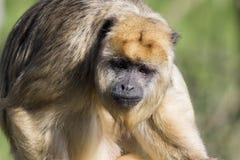 Brown capuchin monkey (Cebus apella) Stock Images