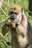 Brown capuchin monkey (Cebus apella) Stock Image