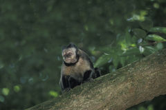 Brown Capuchin monkey. Royalty Free Stock Photography