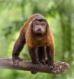 Brown capuchin monkey Royalty Free Stock Images