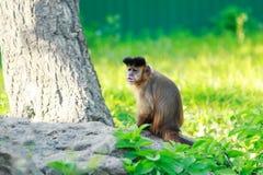 Brown capuchin monkey Royalty Free Stock Image