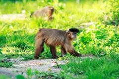 Brown capuchin monkey Stock Photography