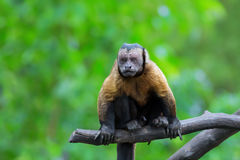 Brown Capuchin monkey Stock Photo