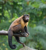 Brown capuchin monkey Stock Images