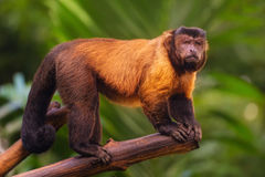 Brown capuchin monkey sitting among the trees Royalty Free Stock Image