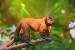 Brown capuchin monkey sitting among the trees Stock Photo