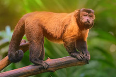 Brown capuchin monkey sitting among the trees Stock Photo