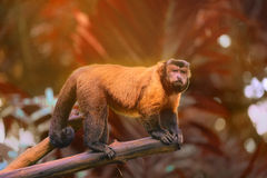 Brown capuchin monkey sitting among the trees Royalty Free Stock Photo