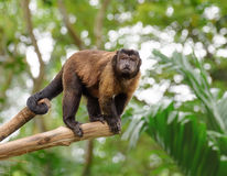Brown capuchin monkey. Standing on a tree in rainforest stock image