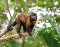 Brown capuchin monkey Stock Image