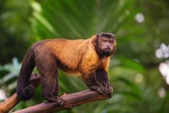 Brown capuchin monkey among the trees. Stock Images